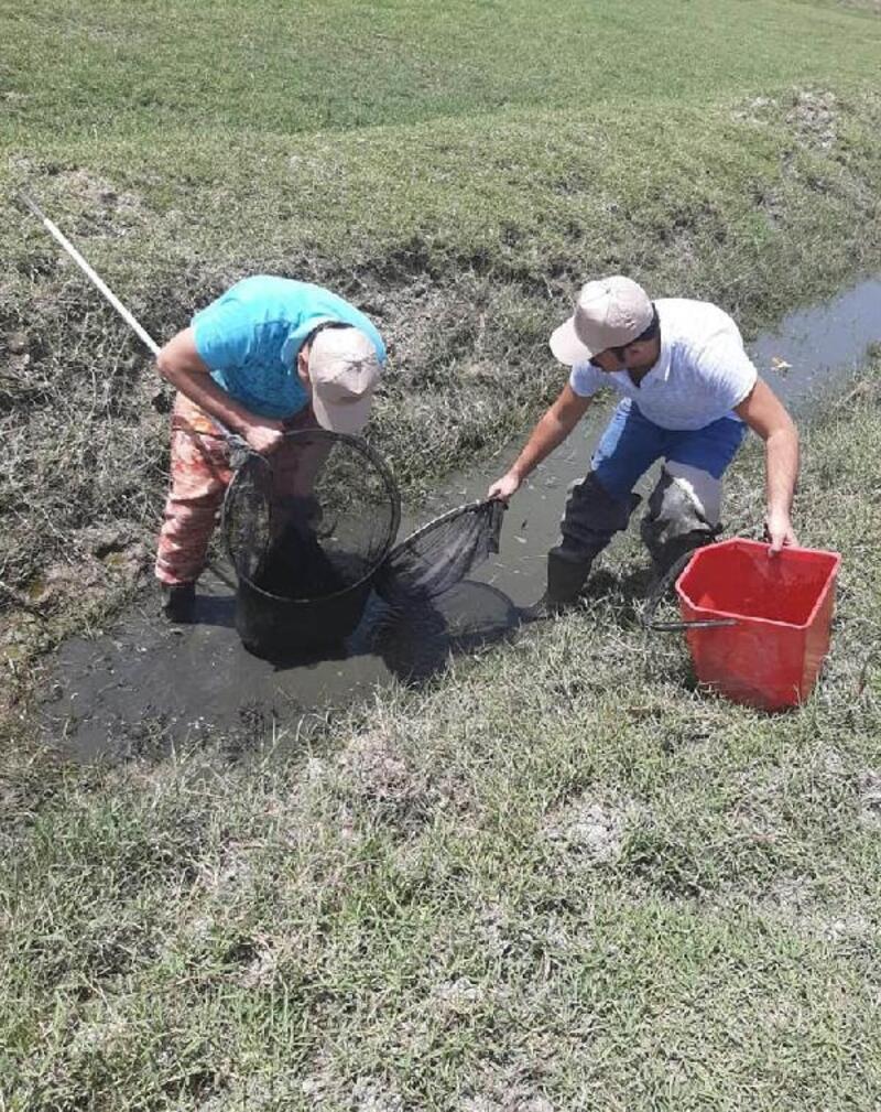Amik Ovası'nda kanallarda sıkışan 40 bin balık kurtarıldı