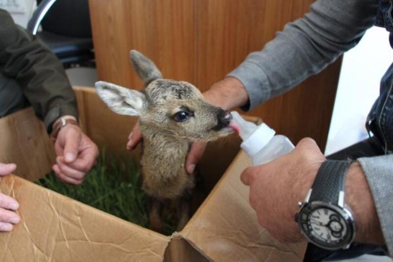 Vatandaşların bulduğu yavru karaca, doğaya bırakıldı
