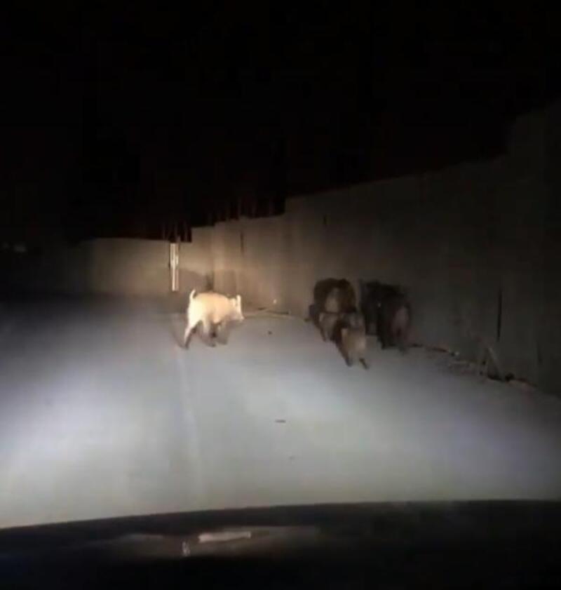 Aç kalan domuzlar, Antalya'ya indi