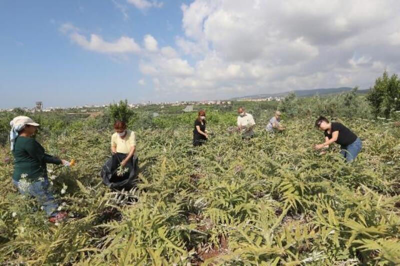 Mezitli'de enginar hasadı yapıldı
