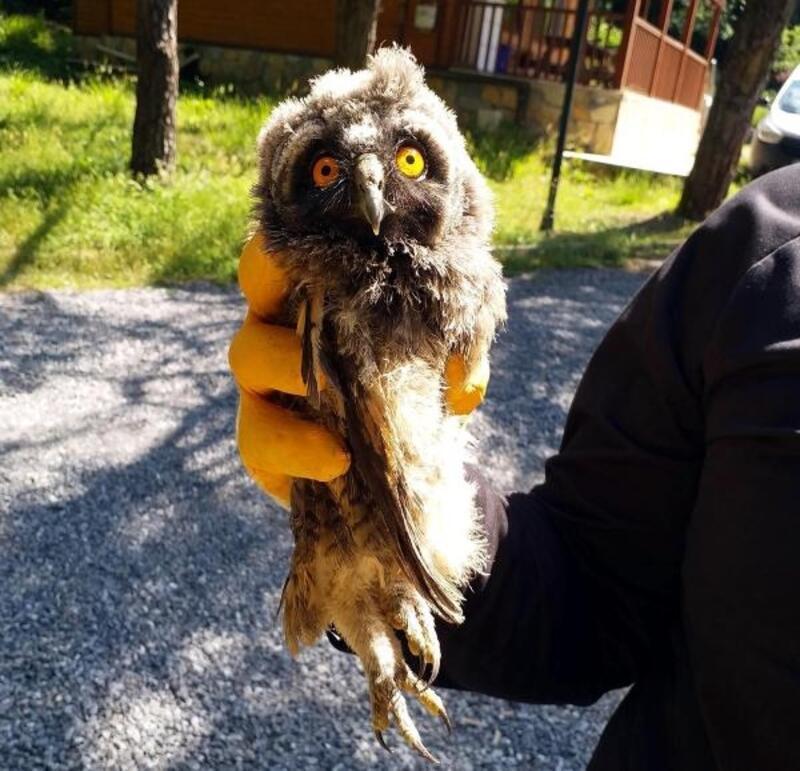 Ormanda bulunan yavru karaca ile puhu kuşu korumaya alındı