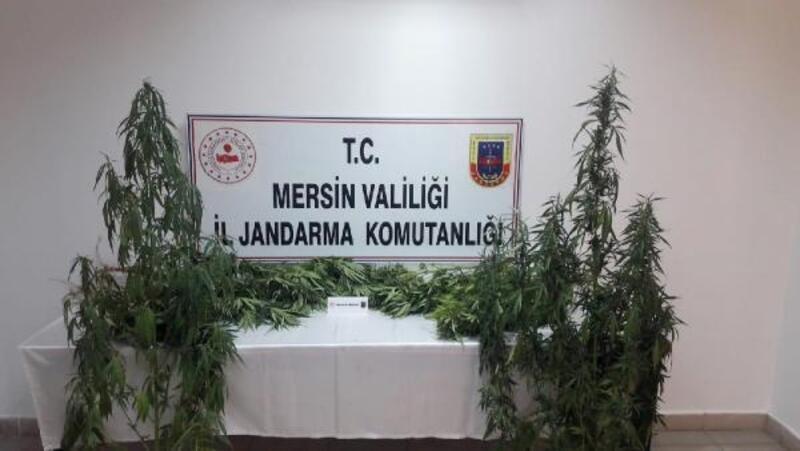 Tarsus'ta jandarma 251 kök kenevir, 10 gram eroin ele geçirdi