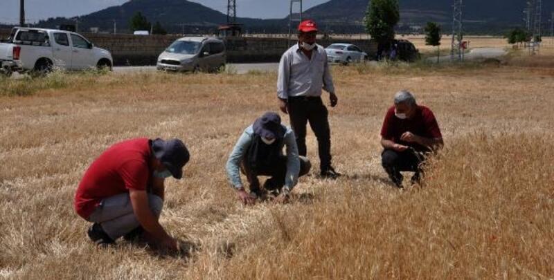 Hububat hasadı yapılan tarlalarda dane kontrolü
