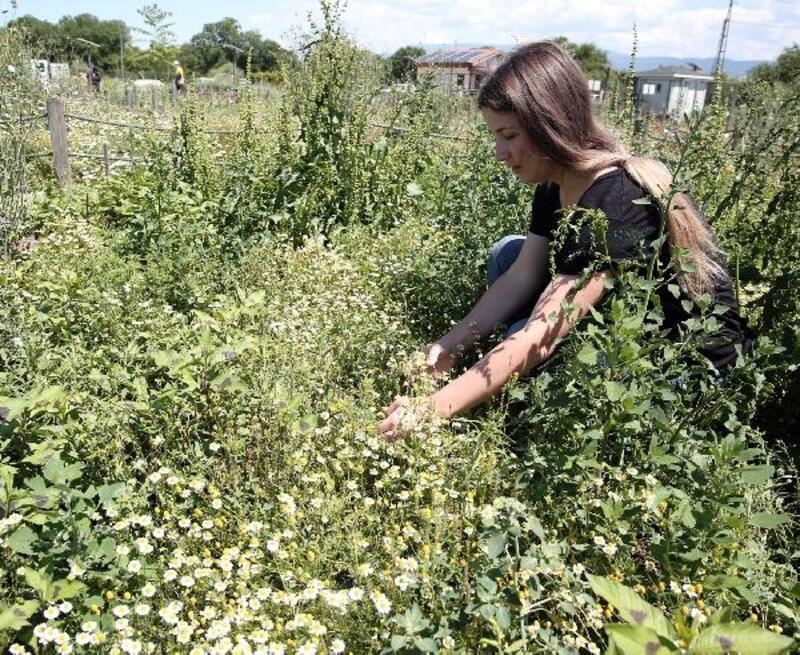 Nilüfer'de tıbbi aromatik bitki üretimi artıyor