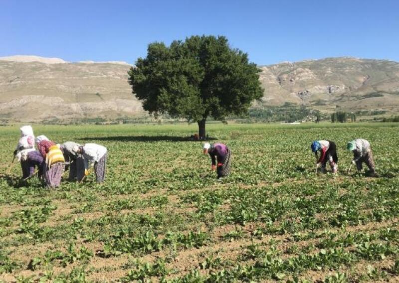 Tarım işçilerinin yoğun mesaisi