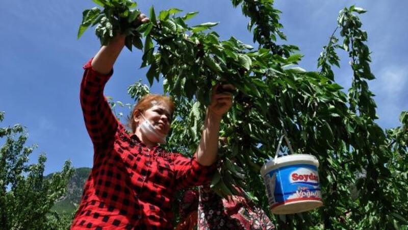İslahiye'de,kiraz hasadı üreticini mutlu etti