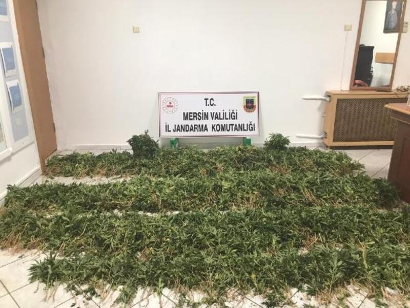 Ormanlık alana ekili 11 bin kök kenevir ele geçirildi