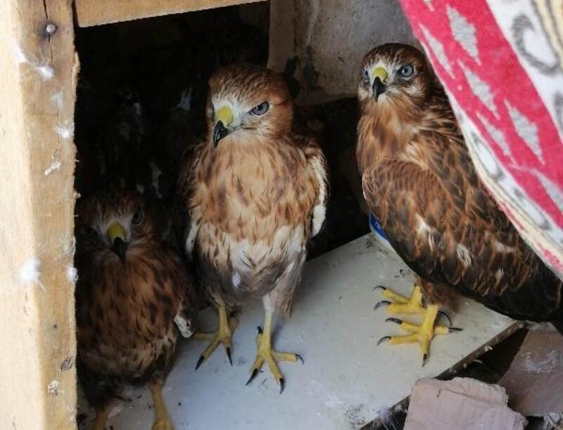 Ele geçirilen kızıl şahinler koruma altına alındı
