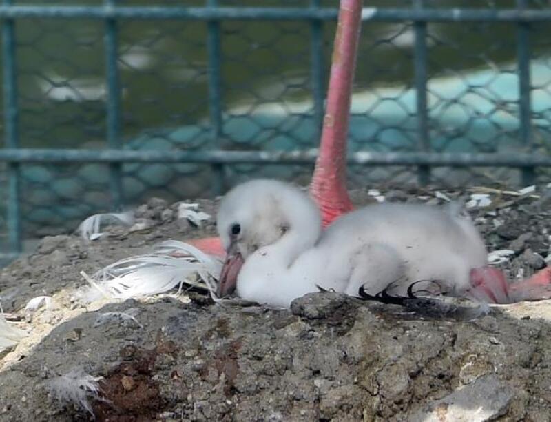 Sincan Hayvanat Bahçesinde flamingo yavrusunu dünyaya getirdi