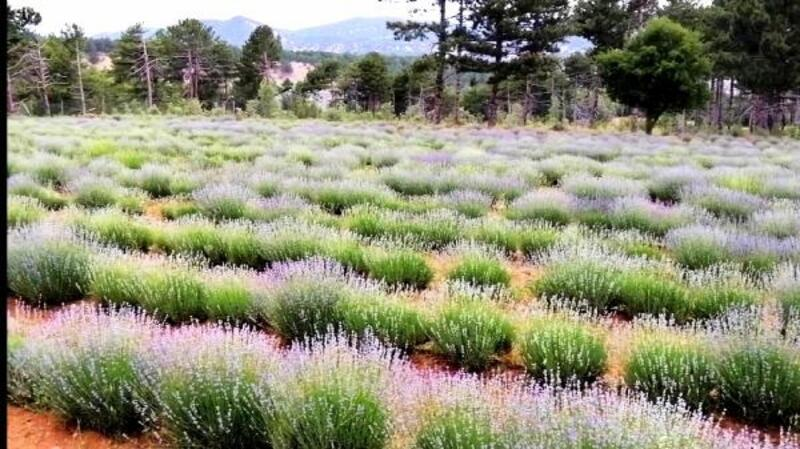 Nallıhan'da lavanta bahçeleri görsel şölen sunuyor