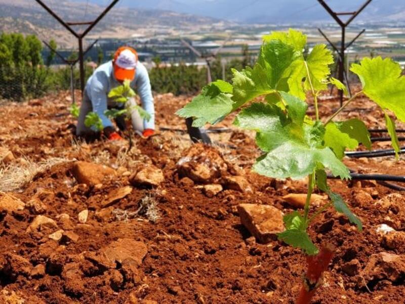 Elmalı MYO'dan sofralık üzüm yetiştiriciliğine katkı