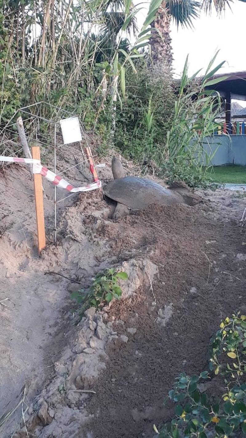 Nil kaplumbağası yuvasına özel koruma
