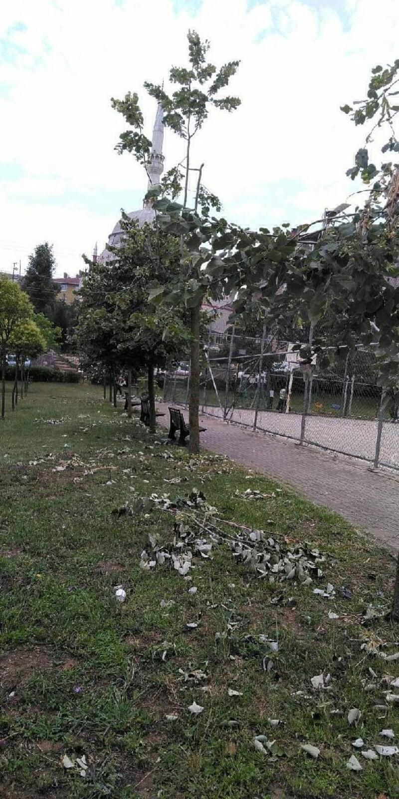 Ihlamur toplarken ağaçlara zarar verdiler