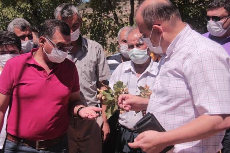 Mut'ta fıstık hasadına başlandı