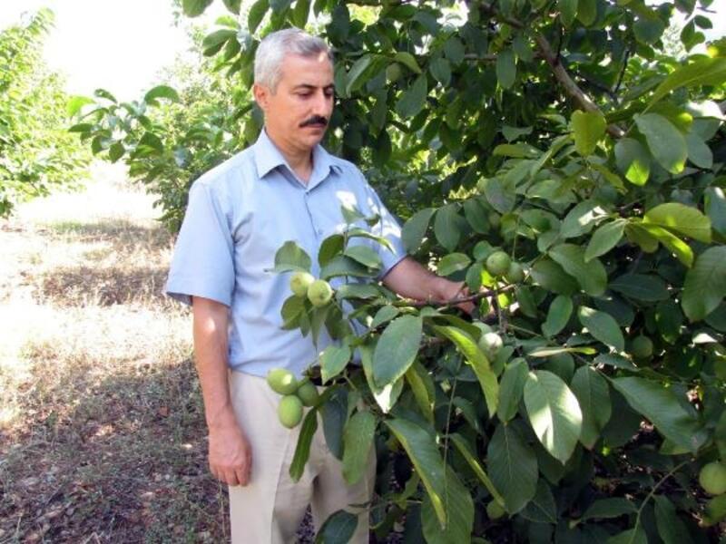 Çiftçiye, çilek ve ceviz bahçesi kurulumu desteği