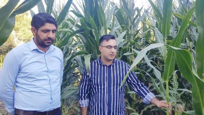 Karakoçan'da silajlık mısır hasadı başladı