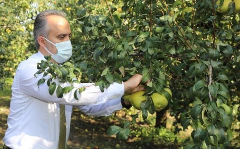 Başkan Aktaş, armut hasadına katıldı