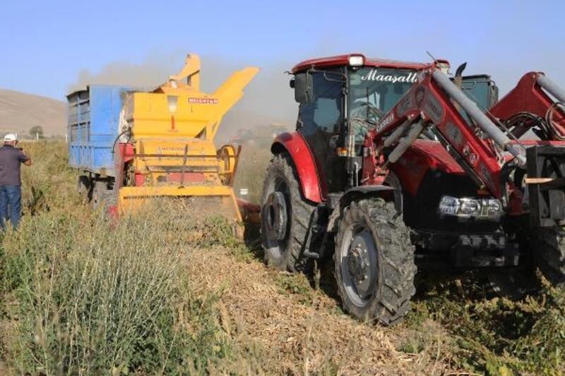 Talas'ta belediyenin dağıttığı tohumların hasadı yapılıyor