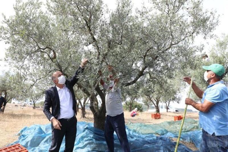 'Topraktan Halka Zeytinyağı'nda hasat başladı