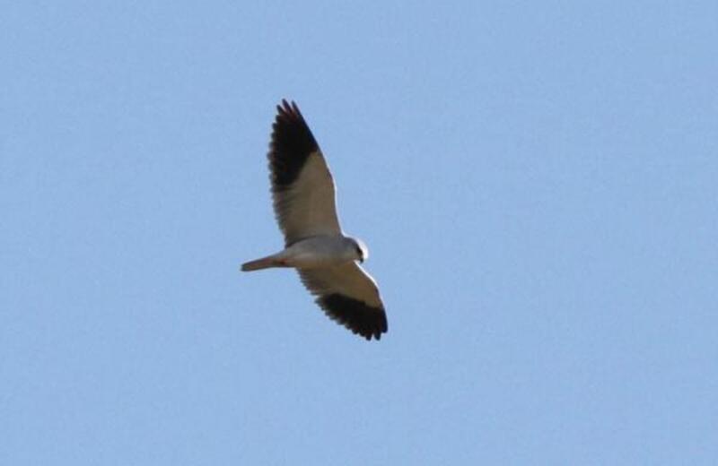 Boğazkent'te yeni kuş türü