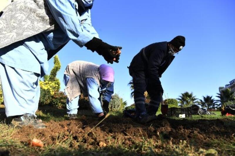 Osmangazi ilçesinde lale soğanları toprakla buluştu
