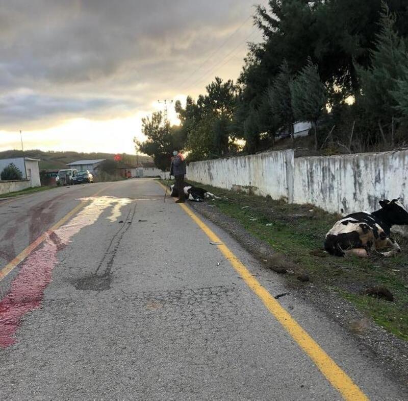 Tekirdağ'da bir araç inek sürüsüne çarptı, sürücü ve 2 inek yaralandı