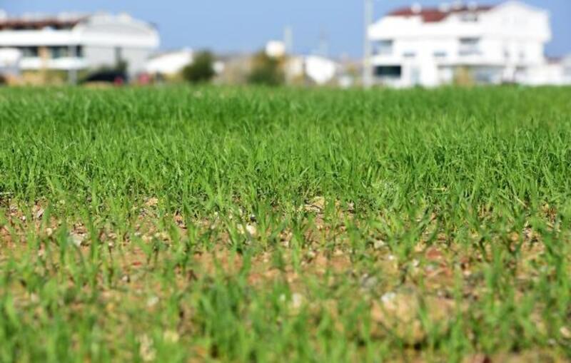 Muratpaşa'da buğdaylar filiz verdi