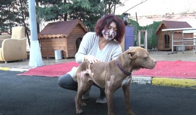 Madde bağımlıları tarafından yakılan pitbull yaşama tutundu