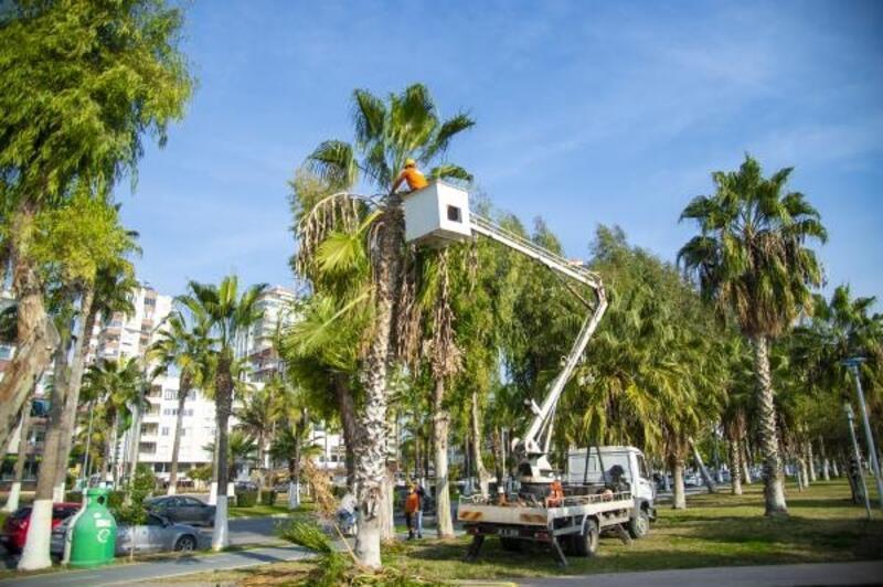 Sahilin gözdesi palmiyeler budanıyor