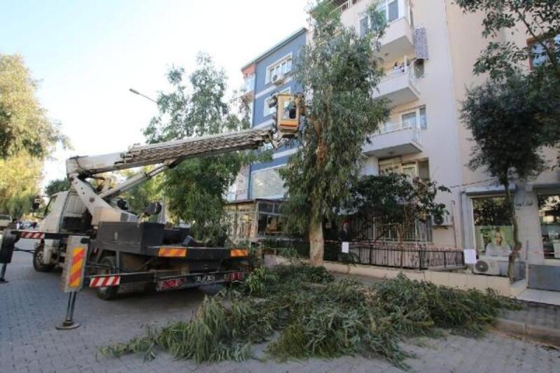 Bayraklı'da sağlıklı ağaç dönemi