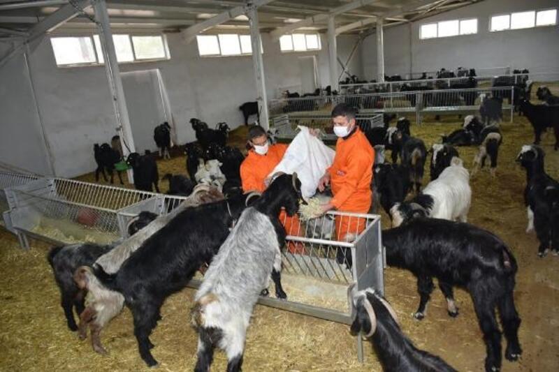 Honamlı keçileri projesi ilk meyvesini verdi