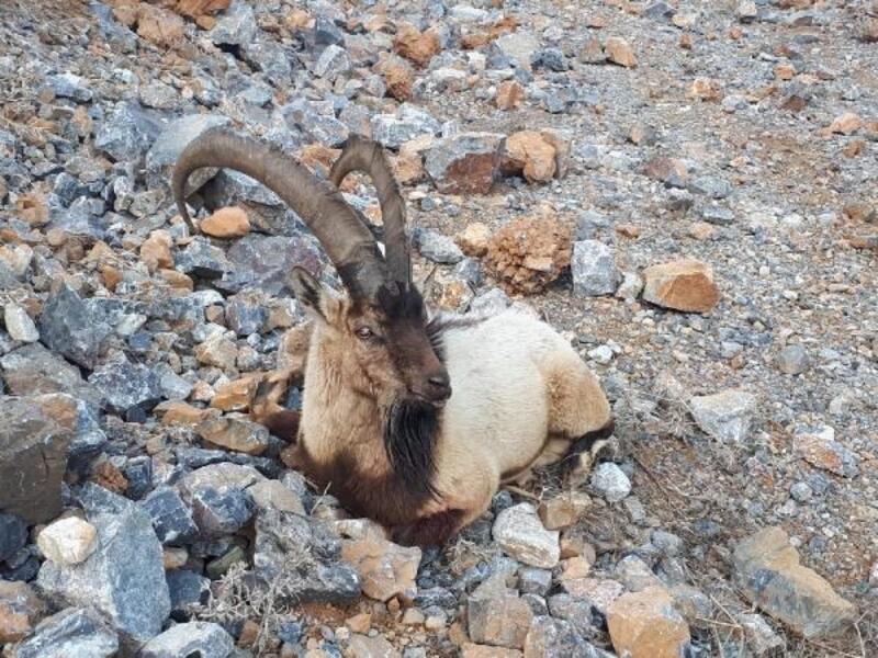 Ayağı kırık dağ keçisi koruma altına alındı
