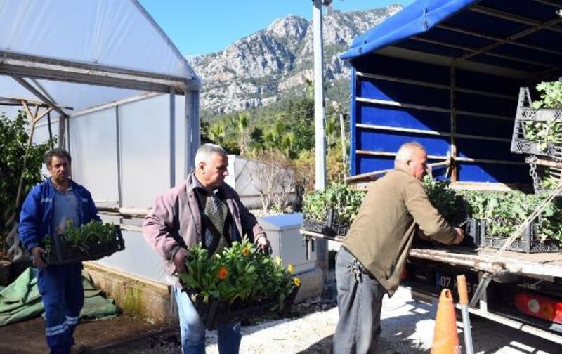 Kemer Belediyesi, kendi bitkilerini üretiyor