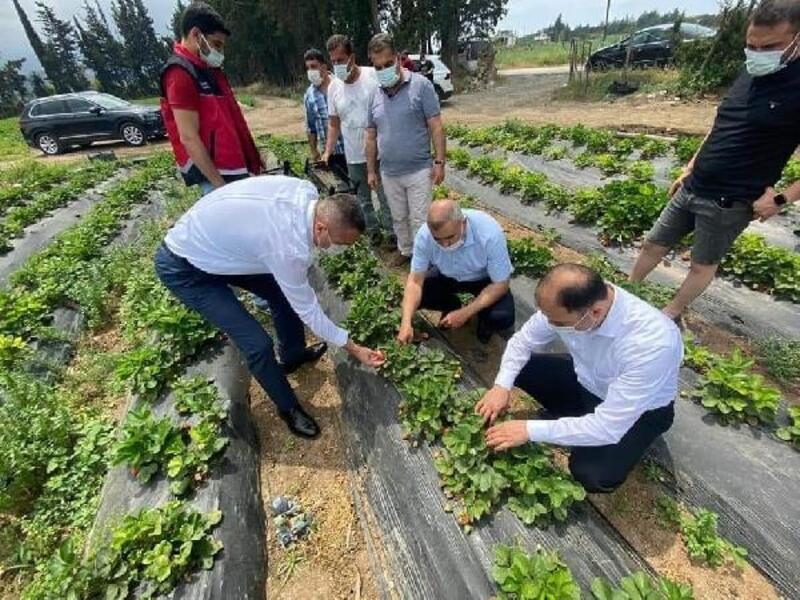 Arsuz'da çilek hasadı başladı