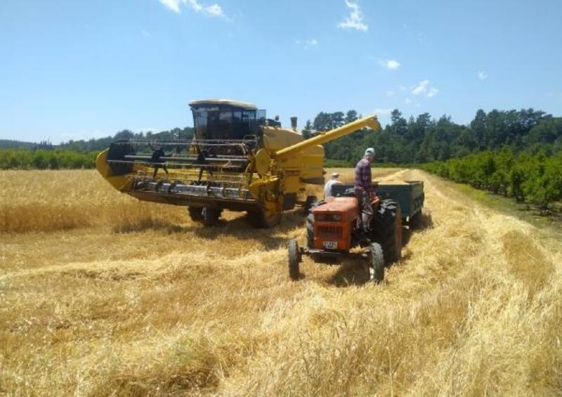 Serik'te 52 bin ton buğday hasadı bekleniyor