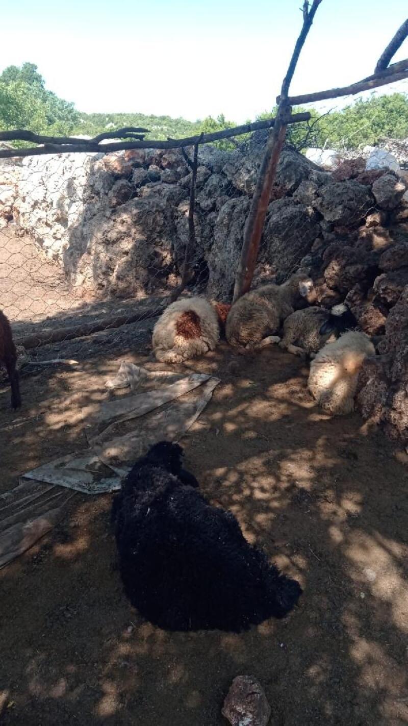 Kurt saldırısında 18 koyun telef oldu