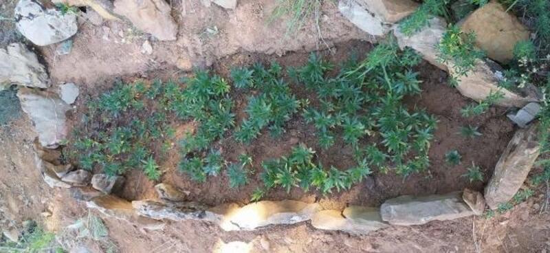 Çelikhan'da 340 kök kenevir ele geçirildi