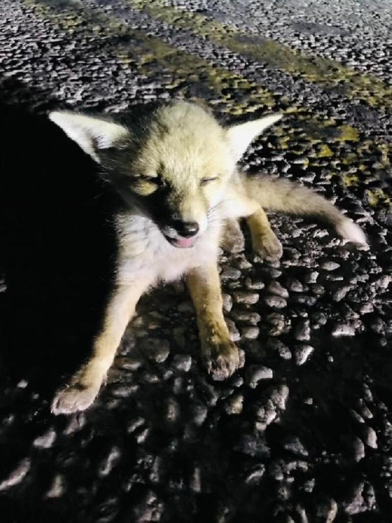 Bitkin bulunan yavru tilki tedavi altına alındı