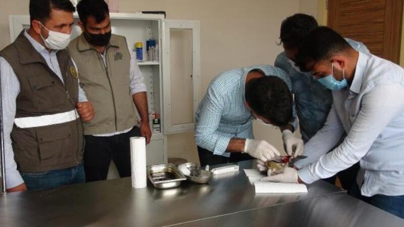 Nesli tükenmekte olan 'Balaban kuşu' yaralı halde bulundu
