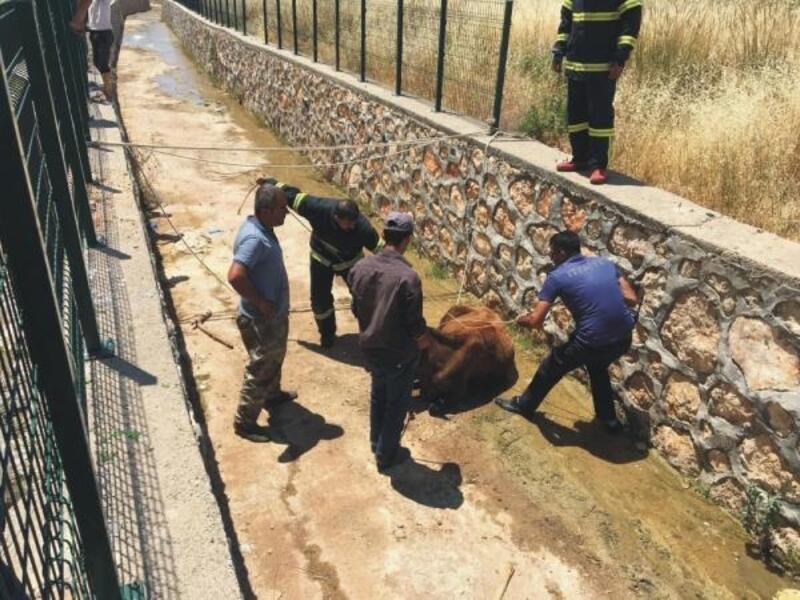 Su kanalına düşen ineği itfaiyeciler kurtardı