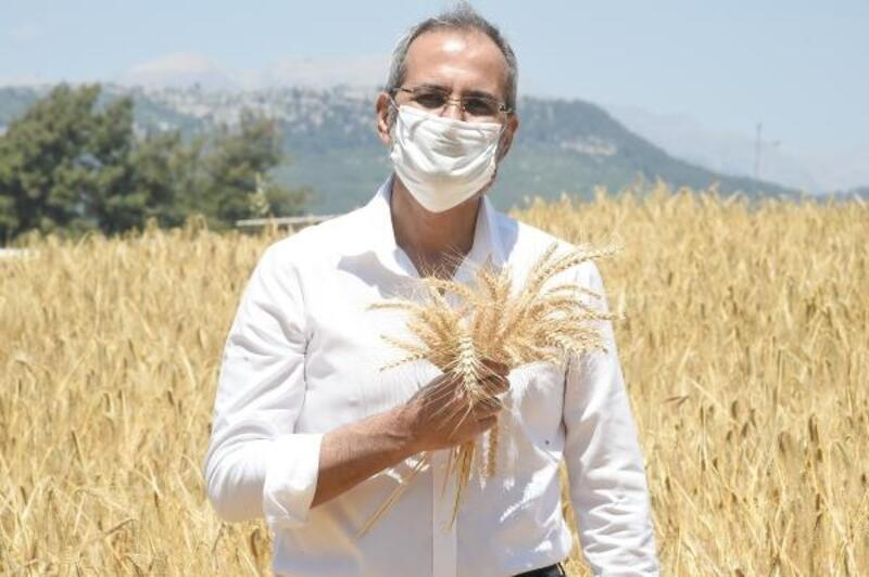 Tarsus Belediyesi'nin ektiği ata tohumları hasat edildi
