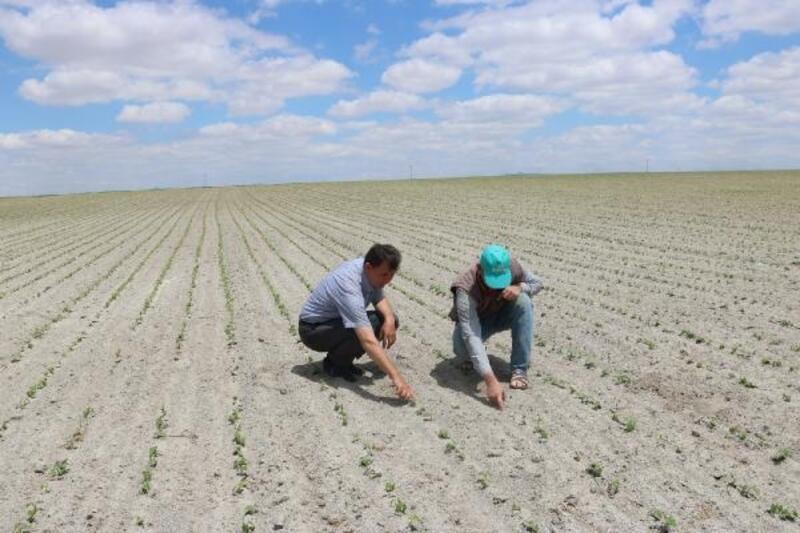 Niğde'de patates üreticileri, fasulyeye yöneldi