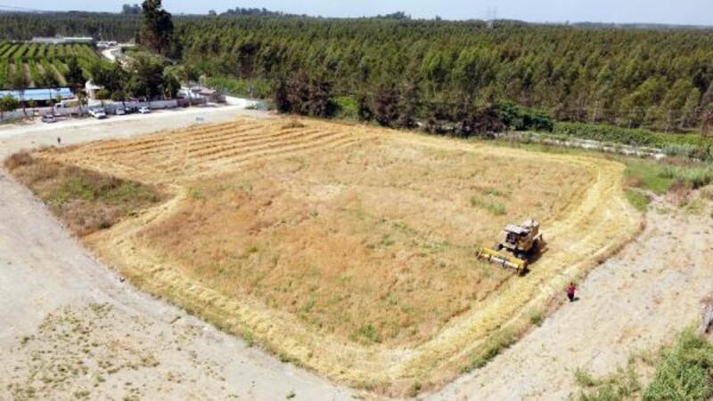 Ata tohumu kunduru bağdayı ve arpada hasat