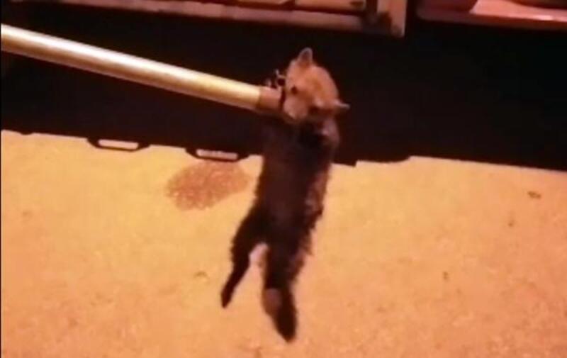 Tavuklara zarar veren sansarı itfaiye yakaladı
