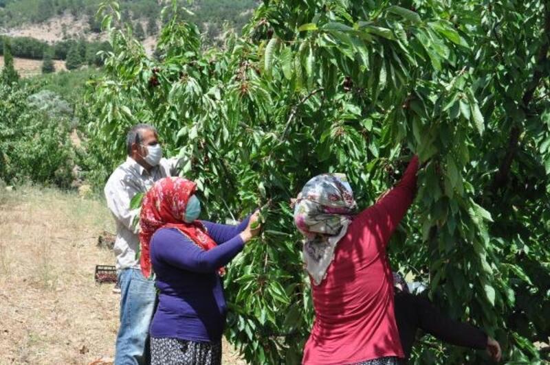Gaziantep'te, kiraz hasadı başladı