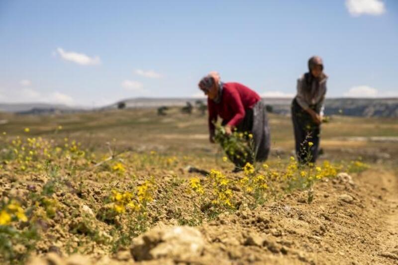 Mersin'de kıraç topraklar sarı kantaron çiçekleriyle bezendi