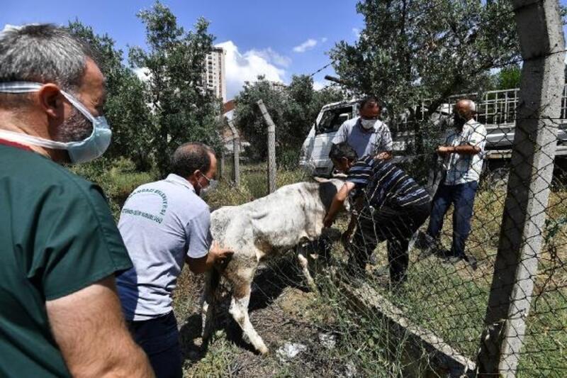 Osmangazi Belediyesi Kurban Yakalama Timi, kaçan boğaları yakaladı