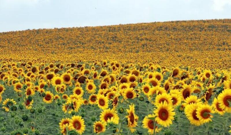 Kurak geçen yaz, Adana'da ayçiçeği verimini yüzde 50 düşürdü