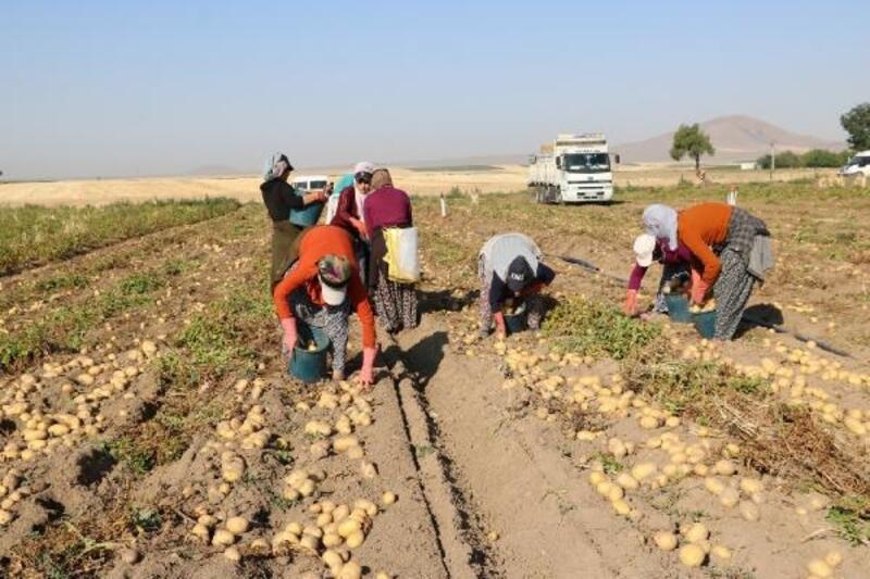 Yazlık patatesteki verim çiftçinin yüzünü güldürdü