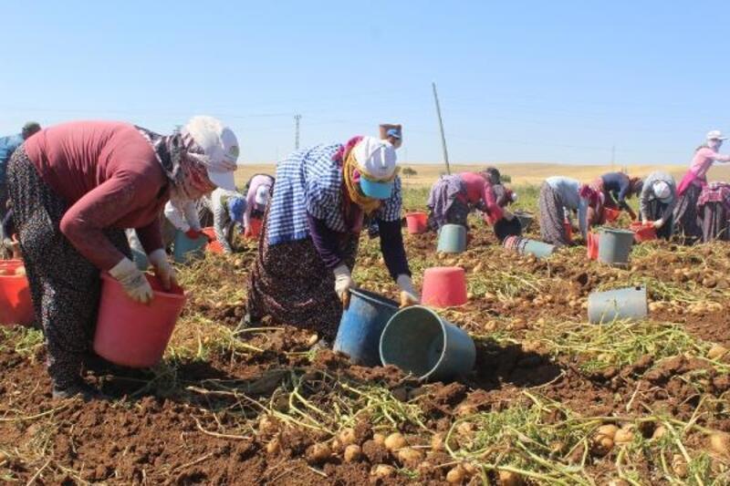 Kahta'da patates hasadı